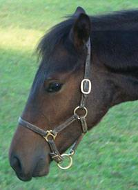 Pro-Trainer Leather Foal Halter