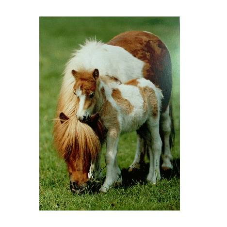 Shetland Pony and Foal Blank Greeting Cards - 6 Pack
