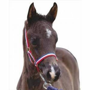 Roma Nylon Brass Buckle Headcollar