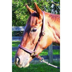 Pro-Trainer Leather Grooming Halter